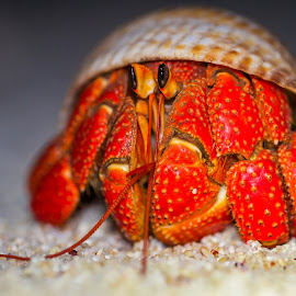 by Colin Davis - Animals Sea Creatures ( crustaceans, hermit crab, crab )