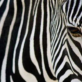ZEBRA by Maria Ferreira - Animals Other Mammals