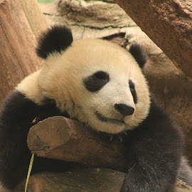 Lazy Panda by Wendy Smith  - Animals Other Mammals ( bear, panda, fur, lazy, mammal )