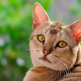 Tom by Rahul Chakraborty - Animals - Cats Portraits