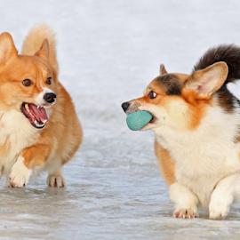 Ambush by Mia Ikonen - Animals - Dogs Playing ( rivals, pembroke welsh corgi, finland, fun, expressive )