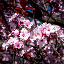 Cherry Blossoms by Darren Sutherland - Nature Up Close Trees & Bushes ( feb 28, 2015, local stuff )