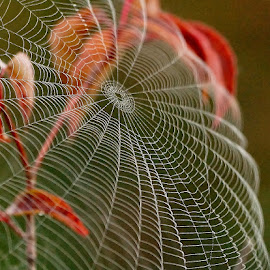 The Cobweb by Ann Overhulse - Nature Up Close Webs