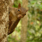 Brazilian Squirrel