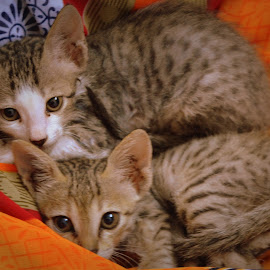 by Venkatesh Ravi - Animals - Cats Kittens