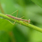 Chinese mantis (nymph)