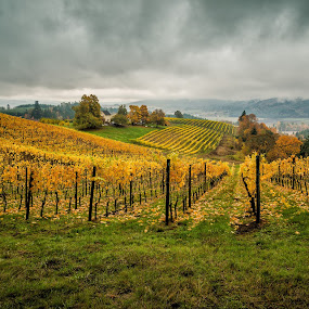 David Hill Winery by Gordon Banks - Landscapes Prairies, Meadows & Fields ( plant, oregon, forest grove, geography & conditions, vineyard, fall colors, ce4, places, landscape, usa, david hill winery, willamette valley, red, north america, flower )