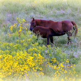 Dinner Time by Steve Parsons - Animals Horses ( mare, field, colt, horse, yellow, flowers )