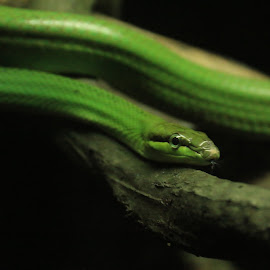 Red Tailed Racer Snake by Michael Loi - Novices Only Wildlife ( snake, red, zoo, racer, sg, tailed )