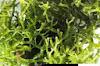 """Gambar preview """" Manfaat Rumput Laut Bagi Tubuh Kamu """""""