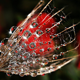 True Love And Friendship... by Marija Jilek - Nature Up Close Natural Waterdrops ( love, nature, seed, goat-beard, plants, friendship, natural waterdrops, red heart )