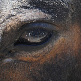 One's Perspective by Barbara Langfeld - Animals Horses ( farm, animals, horses, close-up, equestrian, eyes )