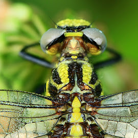 The Dragon by Larry Strong - Animals Insects & Spiders ( macro, dragonfly, insect, close up )