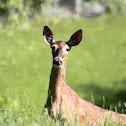 (teenage) White-tailed deer