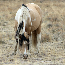 Mane Event by Kathy Tellechea - Animals Horses ( mare, wild horse, mustang, grazing, nature, mane, outdoors, pinto, steens )