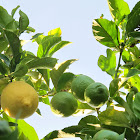 Citrus Lemon tree