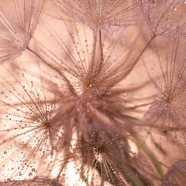 Wet Dandelion 2 by Renier Van Niekerk - Novices Only Macro ( macro, dandelion, plants, drops, wet, flower )