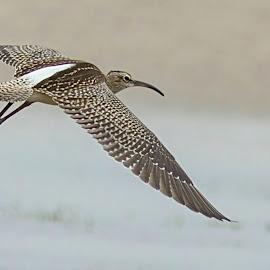 Shore bird found Inland by Prasanna Bhat - Animals Other