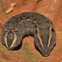 Caterpillar of Hawkmoth