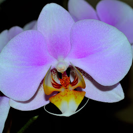 Pink Orchid by David Roger - Novices Only Flowers & Plants ( pink flower, orchid, bright, colorful, flower,  )