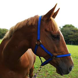 Nipper by Gareth Dickin - Animals Horses ( horse )