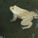 asian bullfrog