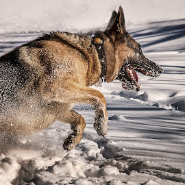 by Clermont Poliquin - Animals - Dogs Running