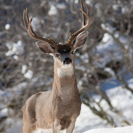 Black-Tailed Buck in snow by Terry Armstrong - Animals Other Mammals ( buck, black-tailed deer, mule deer, deer )