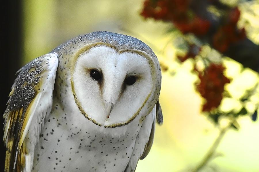 Estrella by Roy Walter - Animals Birds ( captivity, animals, barn owl, birds, raptors )