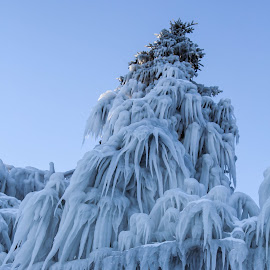 Frozen Spruce Tree by Tammy Drombolis - Nature Up Close Trees & Bushes