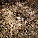 Canada Goose Nest with Eggs