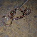 mimic coral snake