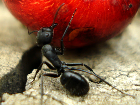 big black ant - photo #46