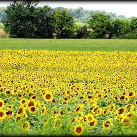 Sunflower fields by Donna Pavlik - Landscapes Prairies, Meadows & Fields
