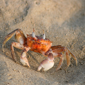 Crab on a Beach by Robert Hamm - Animals Sea Creatures ( dec 31, 2013 )