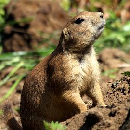 Prairie Dog by Ralph Harvey - Animals Other Mammals ( animals, prairie dog, wildlife, ralph harvey, longleat )