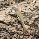 Texas Earless Lizard