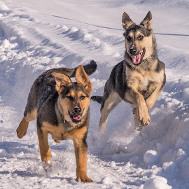 Love playing in the snow! by Kim Crowe - Animals - Dogs Playing (  )