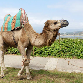Tetuan Trip by Gabrielle Phillips - Animals Other Mammals ( camel, tetuan, morocco,  )