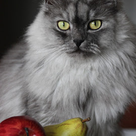 Apples, Pears and an Audience by April Nowling - Animals - Cats Portraits ( cat, persian, feline, kitty, dollface,  )