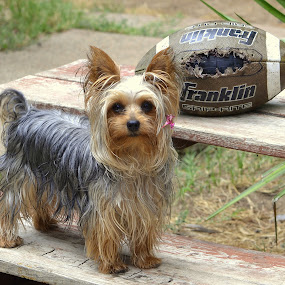 Foot Ball Fan by Fran Juhasz-Mckitrick - Animals - Dogs Portraits ( #GARYFONGPETS, #SHOWUSYOURPETS )