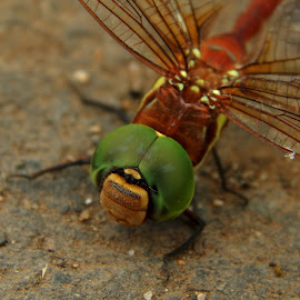 Dragonfly by Mukesh Mishra - Novices Only Macro ( dragonfly photography net green lovely )
