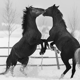 by Razvan Teodoreanu - Animals Horses