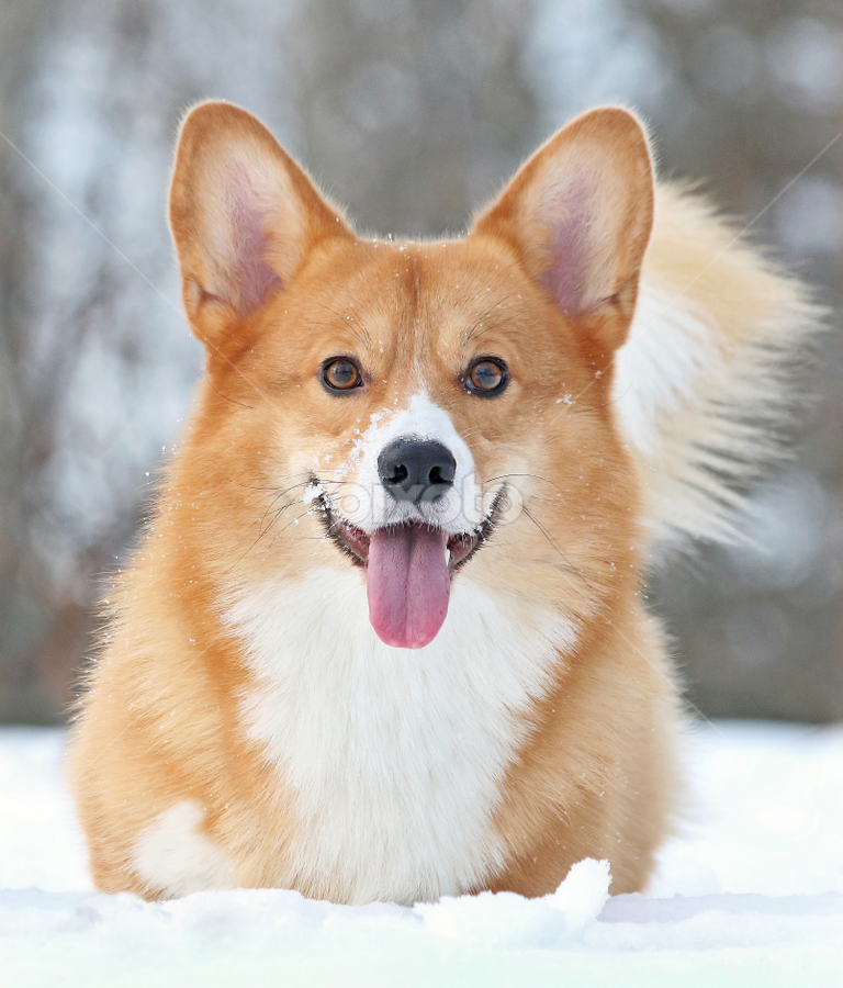 I like snow! by Mia Ikonen - Animals - Dogs Portraits ( canine, winter, pet, happy, pembroke welsh corgi, finland, eager, dog, expressive, mia ikonen )