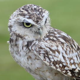 Burrowing Owl by Ralph Harvey - Animals Birds ( bird, owl, beak, wildlife, ralph harvey )