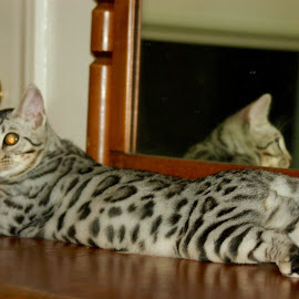 1 Year Old Bengal by Rebecca Bradford - Novices Only Pets (  )