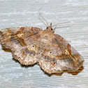 Decorated Owlet Moth