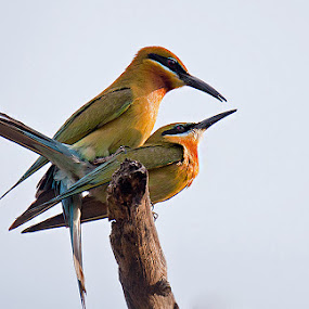 bee-eaters mating by Sathya Vagale - Animals Birds