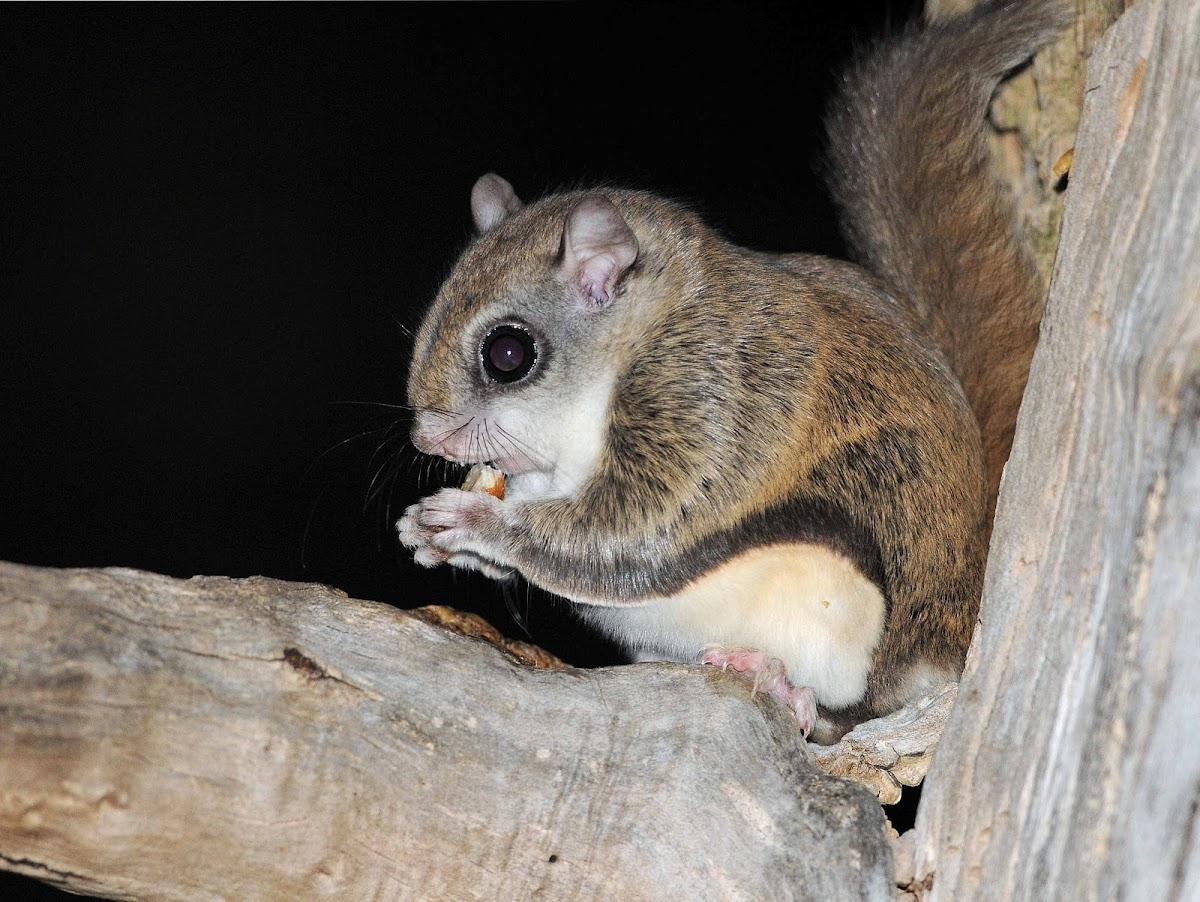 lakechamplainorganisms - Northern Flying Squirrel