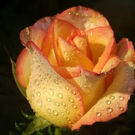 Rainy Shades ! by Darshan Trivedi - Flowers Flower Buds ( water, shades, orange, android, beautiful, yellow, morning, rose, macro, lovely, sunrise, bud, rain )